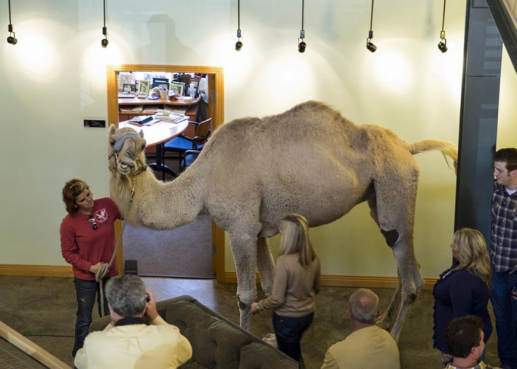 Hump Day_Charlie the Camel