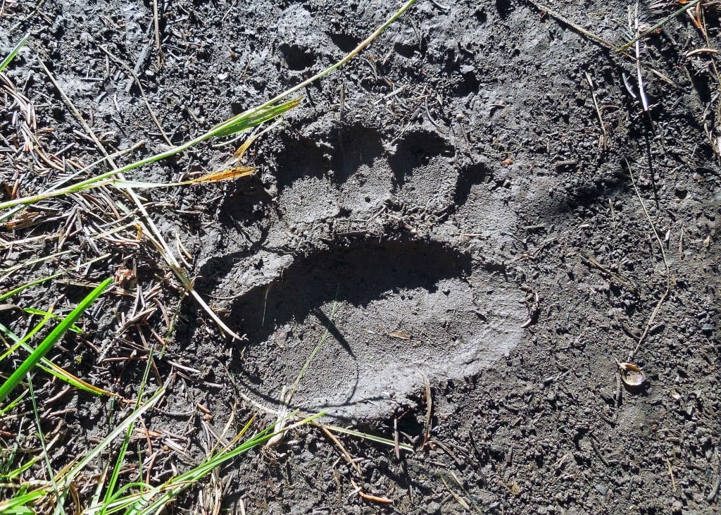 Grizzly Bear track on the muddy trail
